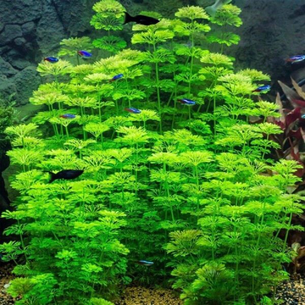 Buy Limnophila sessiliflora Online at Best Price in kerala from geturpet.com